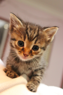 Yana rescue KITTEN to adopt VET WORK INCLUDED