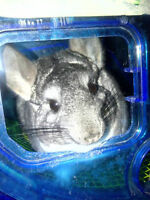3 day sale for a pair of chinchillas