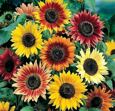 50+ ANNUAL FLOWER GARDEN SEEDS - SUNFLOWERS ...