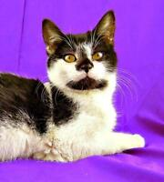 """Young Male Cat - Domestic Short Hair: """"Ziggy"""""""