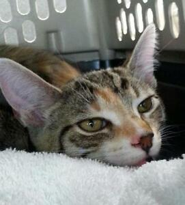 "Young Female Cat - Domestic Short Hair: ""Cheetah Kitty"""