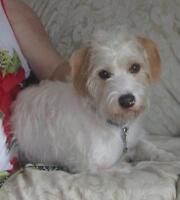 "Young Male Dog - Terrier-Lhasa Apso: ""Clancy"""