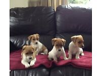 outstanding tan and white jack russell pups