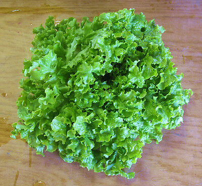 1000 SALAD BOWL LETTUCE SEEDS 2018 ( $3.00 MAX SHIPPING! )