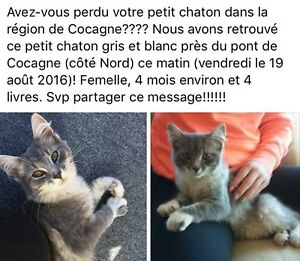 Grey and white kitten (Cocagne area)