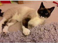 Beautiful applehead Siamese looking for her forever home