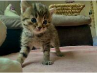 Pretty, healthy playful (calico&torbie) kittens :)