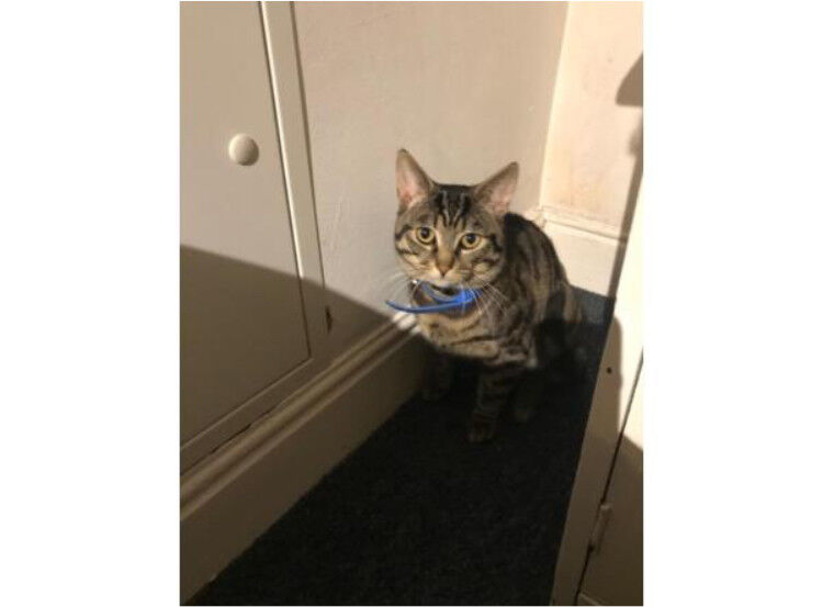 Beautiful Male Part Bengal Cat In Holbeck West Yorkshire Gumtree