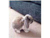Male mini lop rabbit