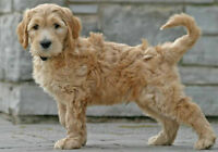 Home-raised Goldendoodle puppies Ottawa!