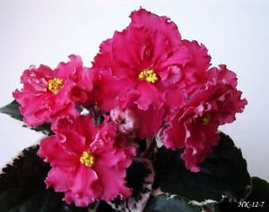 African Violet NK-VKUS MALINY plug plant - <span itemprop=availableAtOrFrom>Wroclaw, Polska</span> - African Violet NK-VKUS MALINY plug plant - Wroclaw, Polska