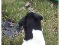 jack russell black and white lost in stondon massey