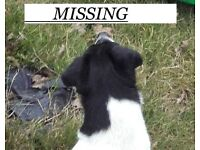 jack russell male 8 year old lost