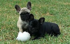 Purebred French Bulldogs with Pedigree for sale Holden Hill Tea Tree Gully Area Preview