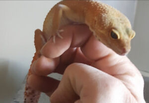 Have two geckos for sale