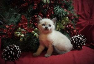*** Precious Siamese Kittens! ***