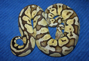 Ball pythons for sale hatchlings and adults St. John's Newfoundland image 3