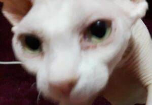Intact, Unaltered, White, Female Sphynx Cat
