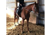 3 year old chestnut gelding for lease!