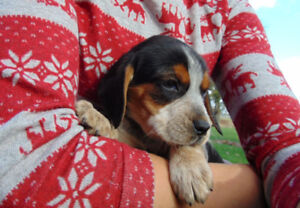 CHARMING Male Beagle PUPS - Ready to be Rehomed