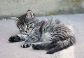 Male Kittens In London Cats Kittens For Sale Gumtree