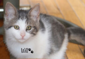 Willy, Kitten for Adoption with KLAWS