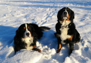 Two Bernese Mountain dogs - purebred, adult