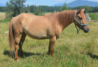 4 Year Old Mare - Gentle