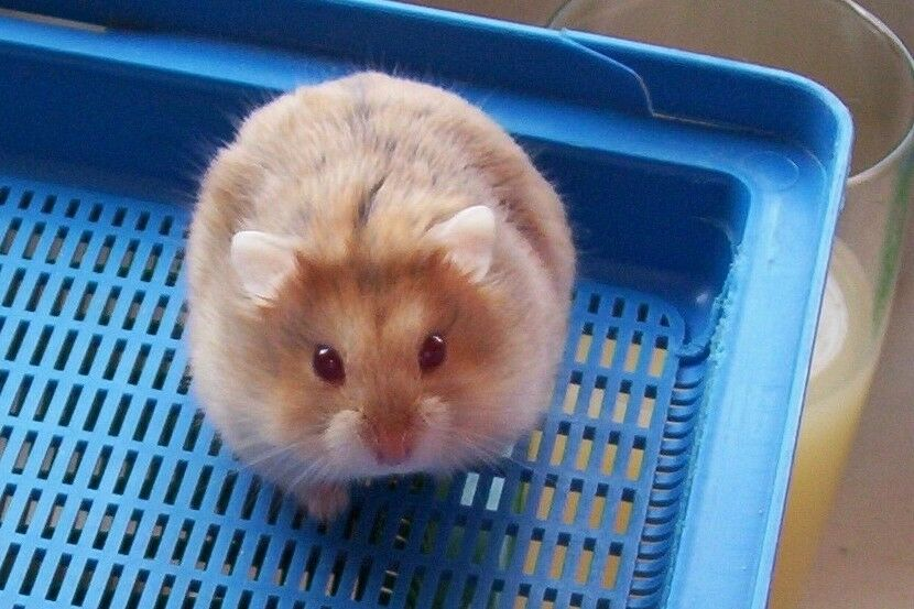 Adorable female Russian Dwarf hamster needs a new home