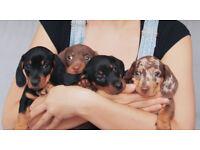 Champion Lined Miniature Dachshund Puppies, KC reg, PRA clear