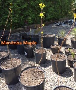 Tree Seedlings for sale - Maple, Blue Spruce and Birch