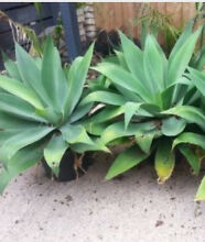 Wanted Agave plants Sandy Bay Hobart City Preview