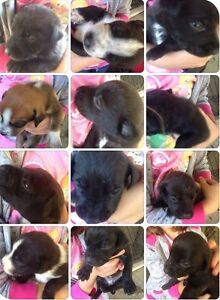 Puppies Cooroy Noosa Area Preview