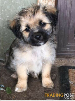 Wanted: ** WANTED SMALL FLUFFY PUPPY*