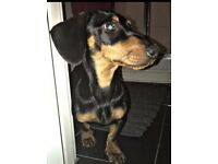 Male Dachshund Puppy 7 months
