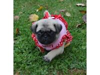 Up to date on shots and wormings Pug puppy