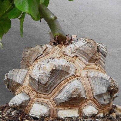 Schildkröte (Dioscorea elephantipes -