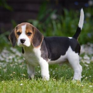 Looking for Beagle Puppy!