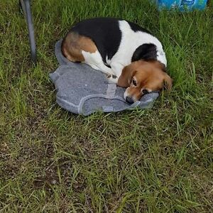 Beagle in need of loving home.