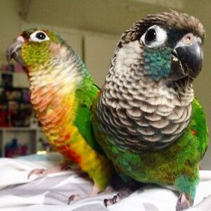 (♥♥,) Rare Conure Babies with Cage and Food (♥♥,)