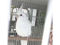 White cockatiel for sale with cage