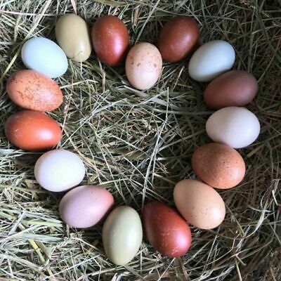 13 Barnyard Mix Fertile Hatching Eggs Black Copper Marans Olive Eggers Etc