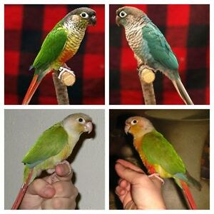 (♥♥,) Conure Babies with Cage and Food (♥♥,)