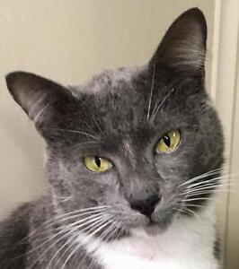 """Young Male Cat - Domestic Short Hair (Gray & White): """"Casino"""""""