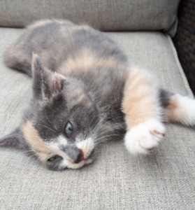 Calico Kitten - Absolutely Adorable