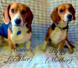 Beagle Puppies to come ....