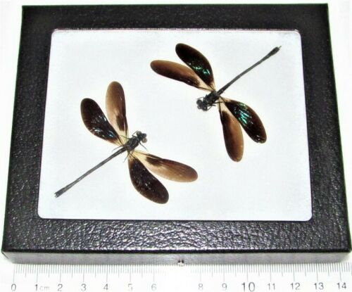 REAL FRAMED GREEN BLACK DAMSELFLIES DRAGONFLIES EUPHEA VARIEGATA DUO