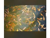 Koi karp, not goldfish, pond fish, tank fish