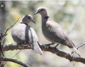 Looking for a pair of ring neck doves