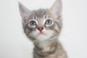Charlotte rescue KITTEN to adopt VET WORK INC Nollamara Stirling Area Preview